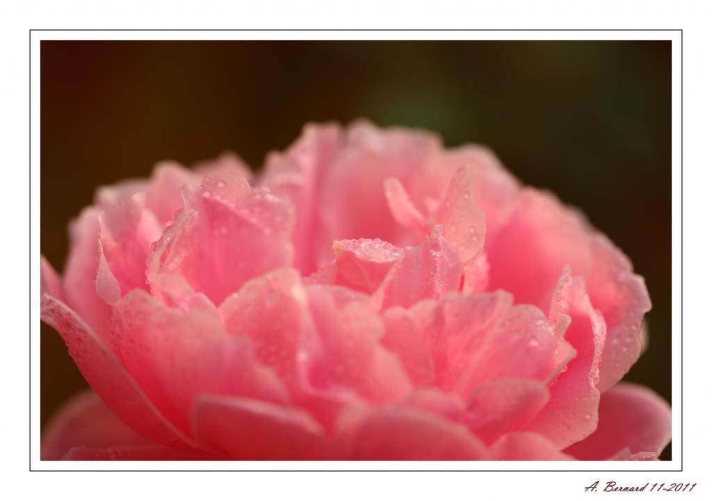La rosée matinale
