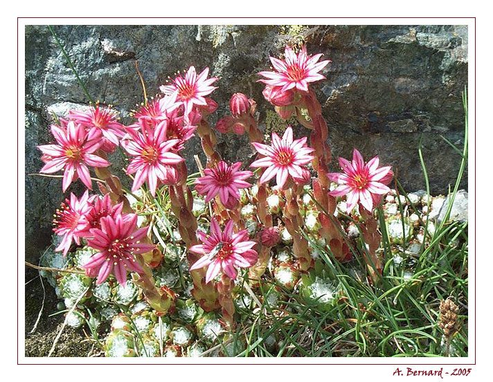 Edelweiss rose de montagne - Chamrousse - Aout 2004 - Alban BERNARD