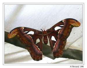 Papillon Attacus Atlas