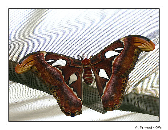 Papillon Attacus Atlas - Alban BERNARD 2006