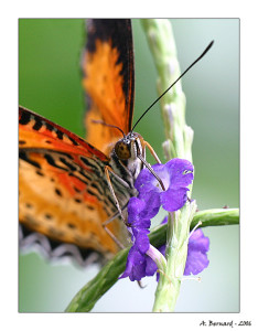 Papillon Helioconus