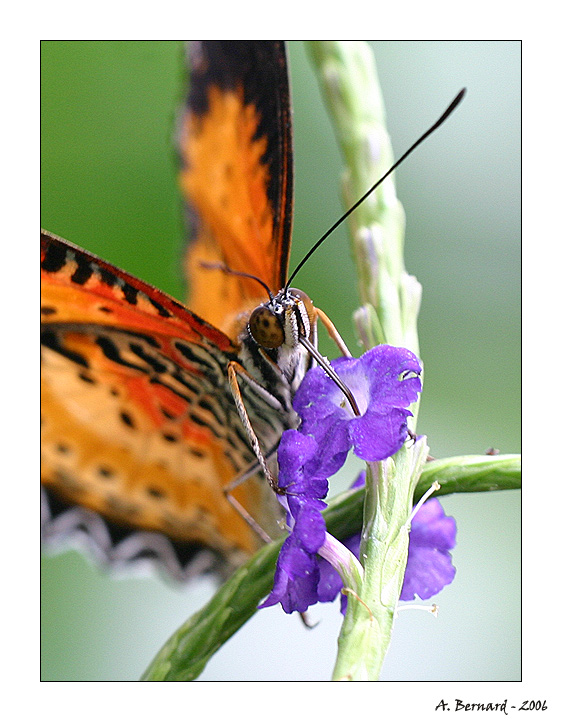 Papillon Helioconus - Alban BERNARD 2006