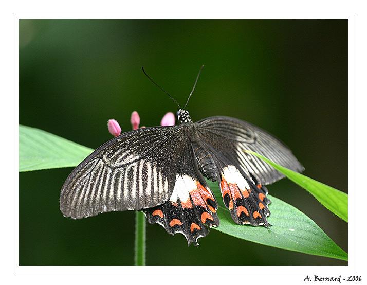 Papillon noir et blanc - Alban BERNARD 2006