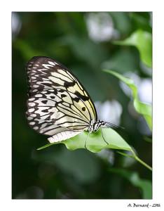 Papillon Idaea leuconoe
