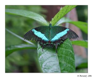 """Papillon """"Papilio Palinurus"""" - Alban BERNARD 2006"""