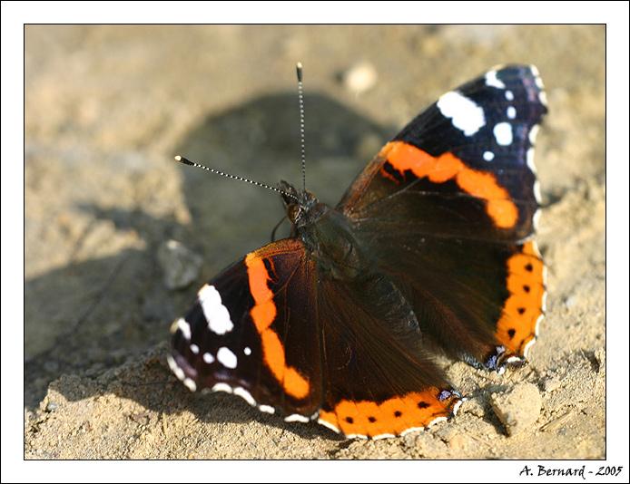 Papillon Vulcain - Alban BERNARD 2005