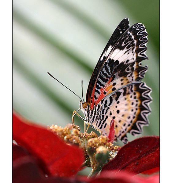 Papillon Helioconus - Alban BERNARD