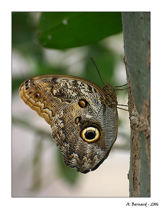 Papillon à Oeil - Alban BERNARD 2006