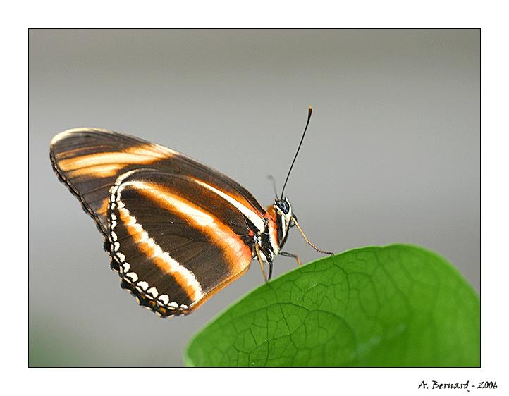 Papillon - Alban BERNARD 2006