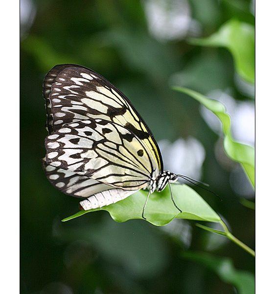 Papillon Idaea leuconoe - Alban BERNARD